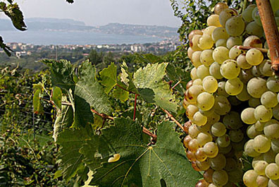 Campania's Falanghina enjoys saoking up some Mediterranean sunshine.