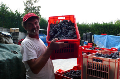 Renato Fenocchio hoists a hand-harvested crate of Nebbiolo, fresh from the Cannubi vineyard.