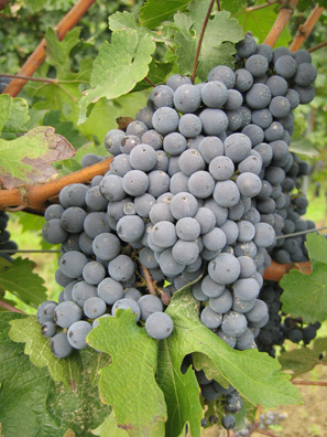 Nebbiolo on the vine